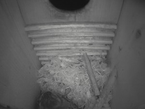 owl_fluffs_shavings_East_Box_022214
